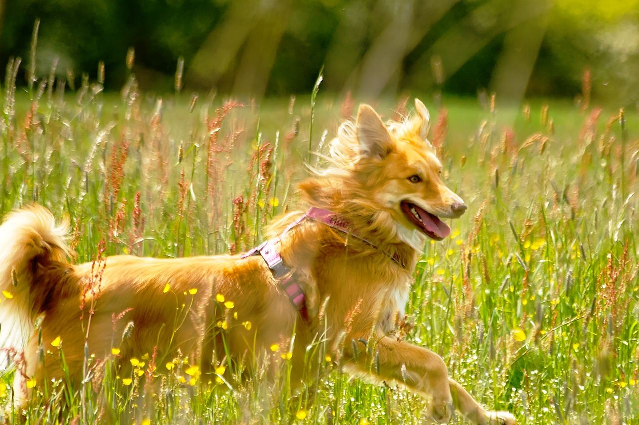 chien en prairie